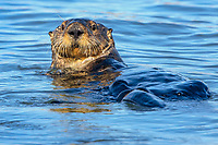 sea otter (Enhydra lutris nereis) Moss Landing in the Monterey Bay National Marine Sanctuary.