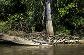 Louisiana, USA. Large alligator lying on log in the bayou with trees and dried wood behind.