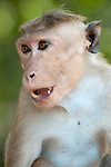 A toque macaque raises his eyebrows and shows his canines in a display of aggression. Polonnaruwa town, Sri Lanka. IUCN Red List Classification: Endangered
