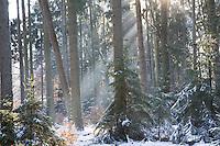 Winterwald, Fichtenwald, Nadelwald, Mischwald im Winter, Gewöhnliche Fichte, Rot-Fichte, Rotfichte, Picea abies, Common Spruce, Norway spruce, L'Épicéa, Épicéa commun