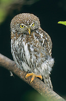 Sperlingskauz, Sperlings-Kauz, Käuzchen, Glaucidium passerinum, pygmy owl