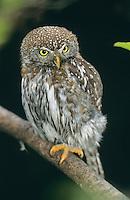 Sperlingskauz, Sperlings-Kauz, Käuzchen, Glaucidium passerinum, pygmy owl