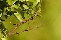 397010016 a pair of wild northern walking sticks diapheromera femorata mate while perched on a plant at southeast regional park austin travis county texas united states