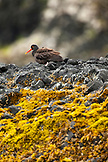 ALASKA, Sitka, Black Oyster Catcher on Saint Lazaria Island, the Sitka Sound, Marine Wildlife Tours with Davey Lubin