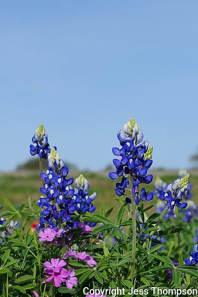 Bluebonnets, Hwy 71, Texas