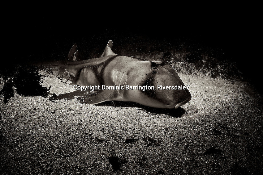 Port Jackson Shark on the sand at Murrays Reef, Jervis Bay