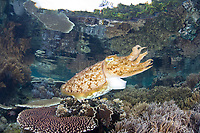 A large Broadclub cuttlefish, Sepia latimanus, uses its siphon to swim across a shallow coral reef where it may be about to lay eggs. Batanta Island, Raja Ampat, Papua, Indonesia, Pacific Ocean
