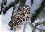 Saw-whet Owls<br /> Inside message: Season's Greetings.<br /> 5 x 7&quot; holiday card with white envelope.<br /> Printed on recycled paper with soy based inks. Watermark does not appear on product.