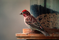 Purple Finch - male, (Carpodacius purpreus). Arizona.