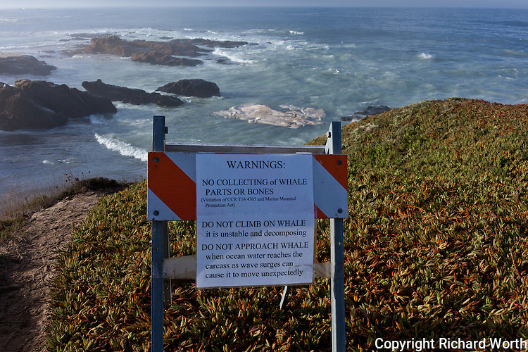 On the bluff overlooking Bean Hollow State Beach a warning sign, with, as if for emphasis, the blue whale carcass floating just off shore at high tide.