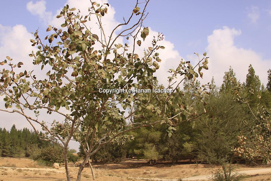 Israel, Southern Hebron Mountain, Pistachio tree (Pistacia vera) in Yatir forest....