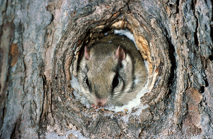 Northern Flying Squirrel (Glaucomys sabrinus) - by nest hole in tree, captive, snow, big eyes and whiskers, nose, ears.USA....