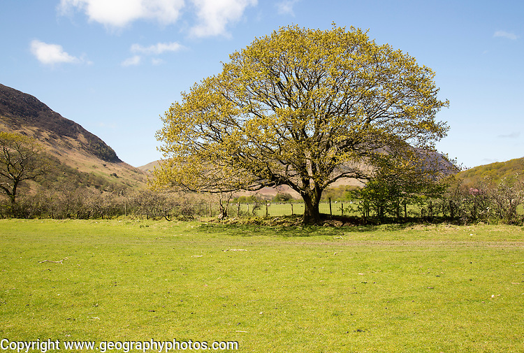 Oak tree in early summer, Buttermere, Lake District national park, Cumbria, England, UK