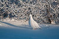 Willow ptarmigan on snowy tundra<br /> Churchill<br /> Manitoba<br /> Canada
