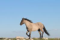 Wild Horse or feral horse (Equus ferus caballus) stallion.  Western U.S., summer.
