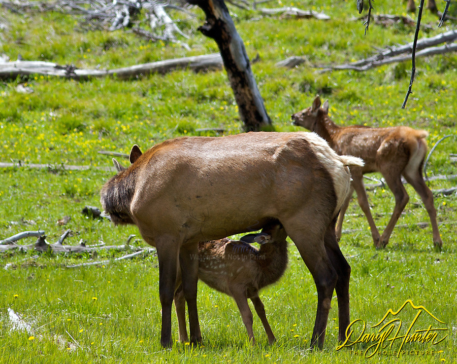 Nursing elk calf, Yellowstone National Park