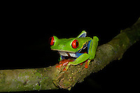 A Red-eyed Tree Frog, Agalychnis callidryas, climbing a tree branch; La Selva, Costa Rica