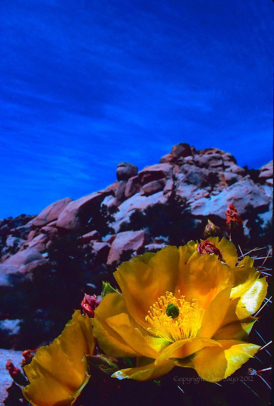 PRICKLEY PEAR CACTUS BLOSSOMS