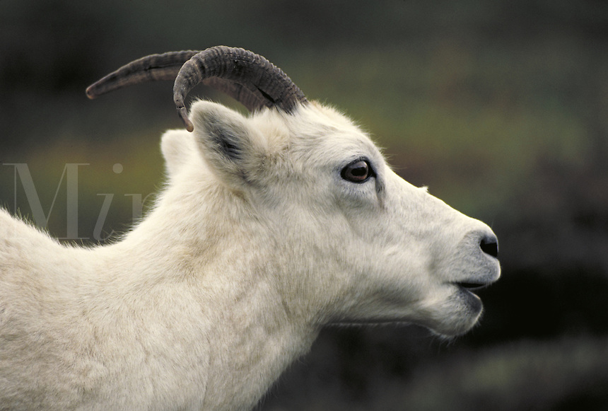 Dall sheep ewe, head shot. Alaska USA Denali National Park.