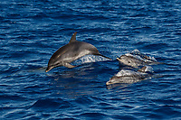 WQ70482-D. Atlantic Spotted Dolphins (Stenella frontalis), jumping out of water. This is a very active, gregarious species. Appearance varies greatly between different stocks throughout their geographical range, and based on age. In general, a calf is born unspotted, and as it matures spots develop and increase. Azores, Portugal, Atlantic Ocean.<br /> Photo Copyright © Brandon Cole. All rights reserved worldwide.  www.brandoncole.com