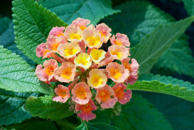 Lantana Apricot Sunrise, opens yellow, turns salmon apricot pink, annual flowers