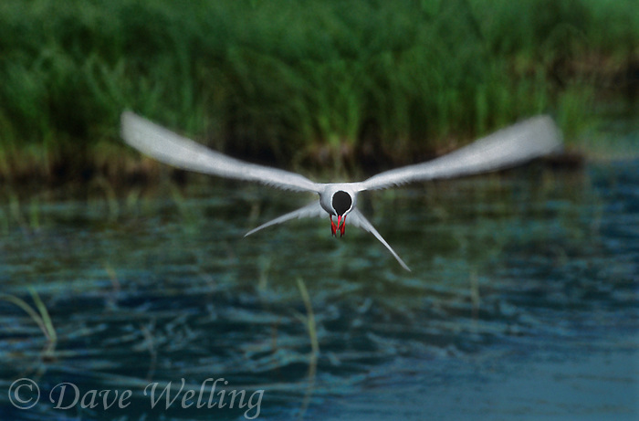 581600304 a wild arctic tern sterna paradisaca hovers over a small pond hunting for fish prey in alaska