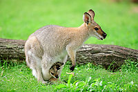 agile wallaby, or sandy wallaby, Macropus agilis, mother with joey in her pouch, Australia, Oceania