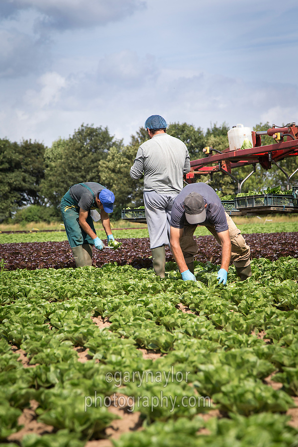 Migrant labour wearing hats and gloves harvesting lettuce - August, South Lincolnshire