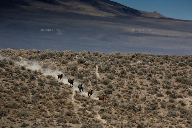 Wild horses run across dry rangeland in the Nevada desert. Draught and wild land fire put more pressure on mustangs.<br />