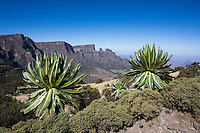 Mountain lobelias near Chenek in the Simien Mountains of Ethiopia