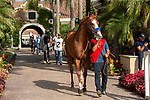"DEL MAR, CA  AUGUST 25:   #1 Catalina Cruiser, enters the paddock before the Pat O'Brien Stakes (Grade ll), Breeders' Cup ""Win and You're In Dirt Mile Division"" on August 25, 2018 at Del Mar Thoroughbred Club in Del Mar, CA.(Photo by Casey Phillips/Eclipse Sportswire/Getty ImagesGetty Images"