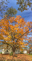 Maple tree in fall colors at farm house at the Braun Farm in Westerville OH