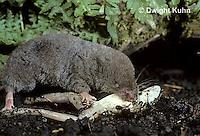 MU11-019z  Short-tailed Shrew - eating frog prey -  Blarina brevicauda
