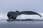 Antarctica , humpback whale