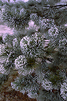 Evergreen tree flocked with snow in the winter. Minneapolis Minnesota USA