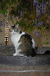 Tabby cat sitting on wine barrel against background of wisteria plant on garden wall. Tenerife, Canary Islands.