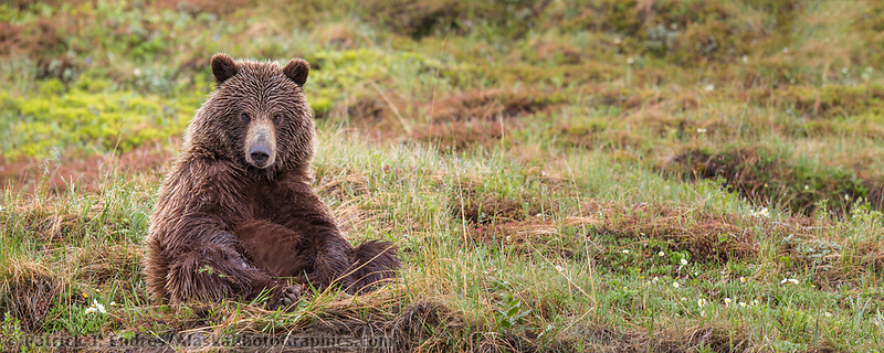 Panorama of grizzly bear on the springtime tundra in Denali National park, Alaska.