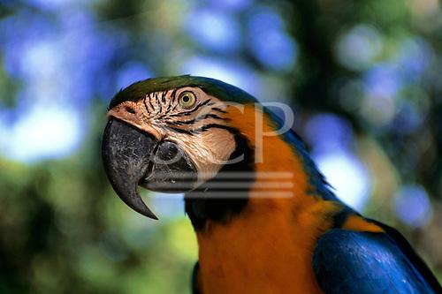 Amazon, Brazil. Blue and yellow macaw; Arara-canindé (Ara ararauna).