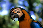 Amazon, Brazil. Blue and yellow macaw; Arara-canindé (Ara ararauna).