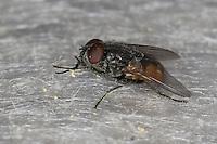 Gesichtsfliege, Herbstfliege, Augenfliege, Stallfliege, Männchen, Fliege, Musca autumnalis, face fly, autumn house-fly
