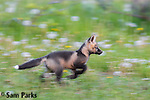 Cross (red) fox kit running. Grand Teton National Park, Wyoming.