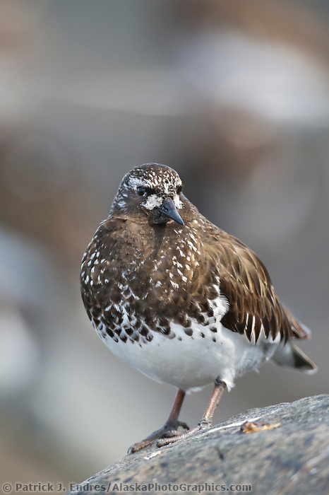 Black turnstone, Prince William Sound, southcentral, Alaska.