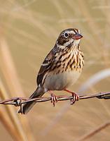 Vesper sparrow in winter