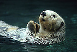 FB-M7  Sea otter.  2X3 Photo Magnet
