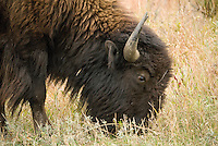 A bison grazes at Theodore Roosevelt National Park (south unit), in western North Dakota