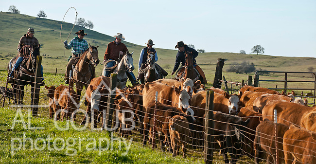 Snelling, California March 15, 2010.Erickson Cattle Company Prey Ranch: Branding spring calfs and getting Cattle ready for 2008 spring cattle drive.. Photo by AL GOLUB/Golub Photography