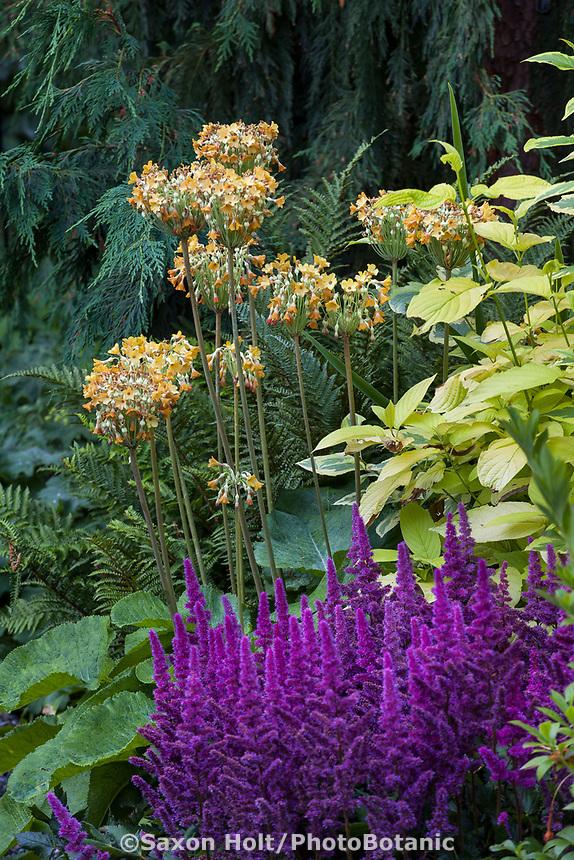 Primula florindae, Giant Cowslip, Bog Primula, Himalayan Cowslip, Tibetan Primrose flowering in Bellevue Botanical Garden