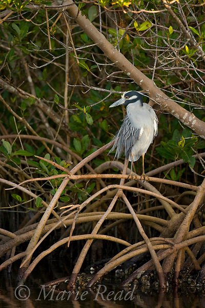 Yellow-crowned Night Heron (Nyctanassa violacea) resting among red mangroves, Ding Darling National Wildlife Refuge, Florida, USA