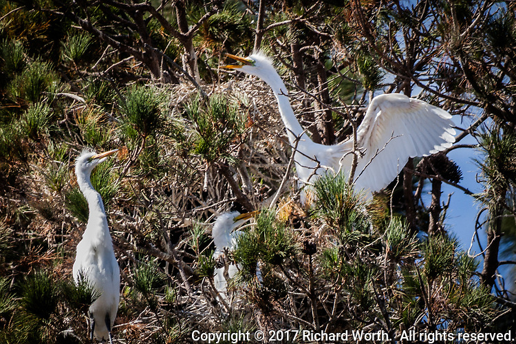 A Great egret displays aggressive behavior as it moves from one branch to another in a nesting tree in Alameda, California.