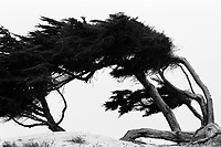 Cypress Tree, Monterey, CA, film